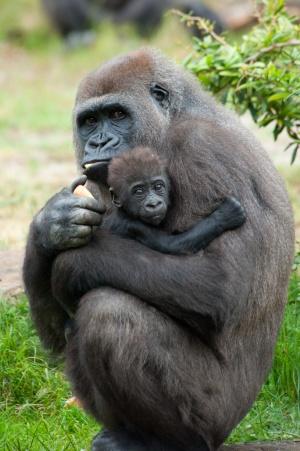 Detectan un patrón social común entre humanos y gorilas
