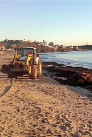 Playas españolas invadidas por un alga asiática