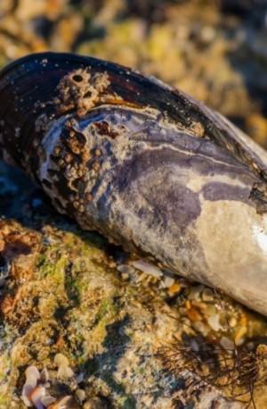 Los mejillones pueden ayudar a limpiar el petróleo de los océanos