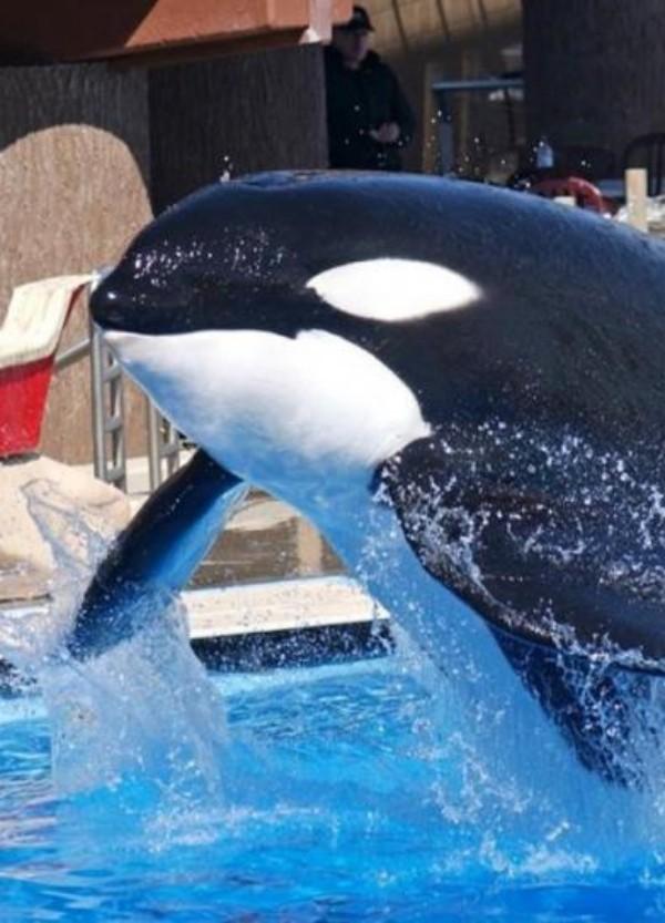 El estrés acorta la vida de las orcas en cautividad