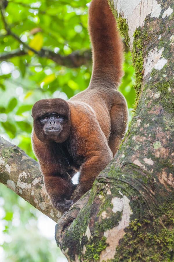 Siete nuevas especies de monos, bajo amenaza de extinción