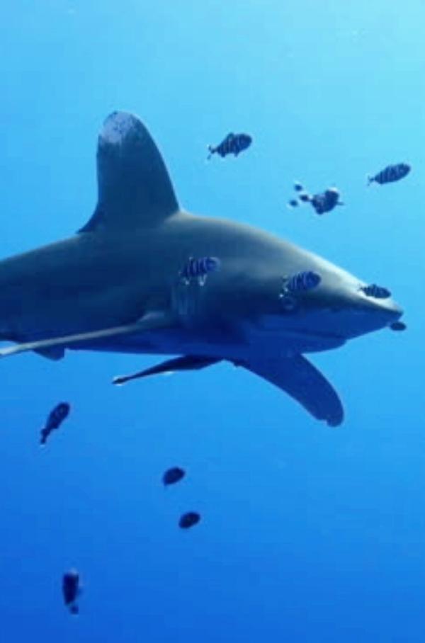 La sobrepesca: la mayor amenaza para los tiburones oceánicos