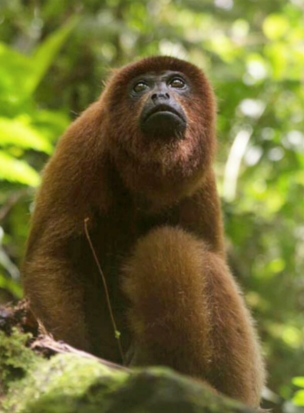 Los monos pueden recuperar las selvas tropicales degradadas