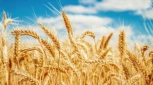 Este año recogemos menos cereales por el cambio climático