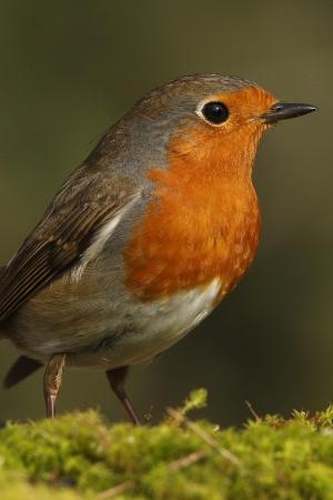 El número de aves se reduce este año