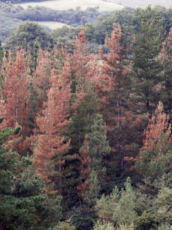 La superficie afectada por la enfermedad del pino se duplica y alcanza ya las 95.000 hectáreas en Euskadi