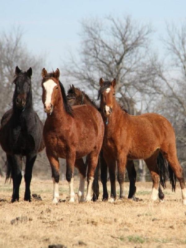 El Gobierno de EEUU ofrece 1.000 dólares por adoptar caballos y burros salvajes