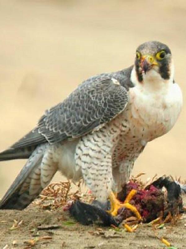 Investigan a una persona por la muerte de un halcón Tagarote en Santa Lucía de Tirajana (Gran Canaria)