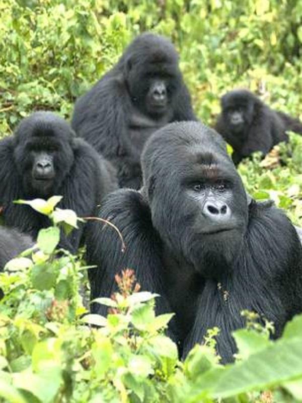 Gorilas velando a sus congéneres fallecidos