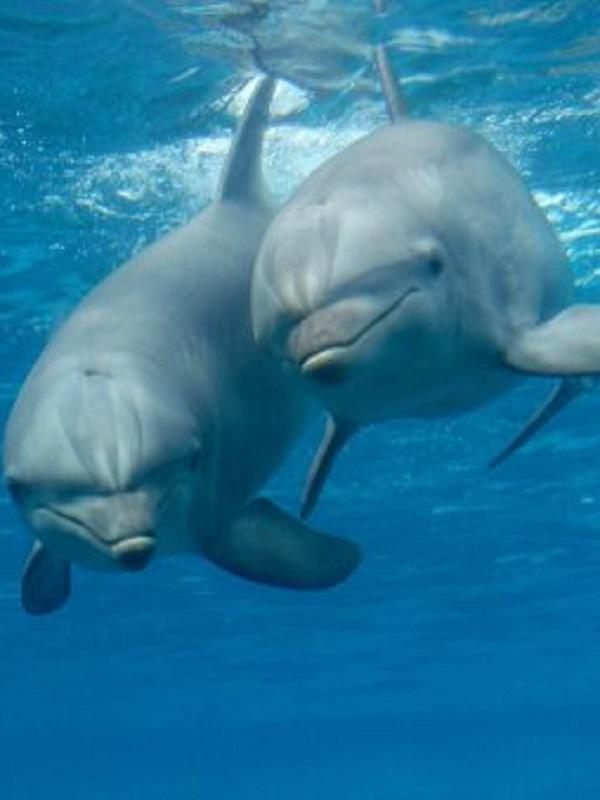 Los delfines hembras pueden experimentar placer sexual