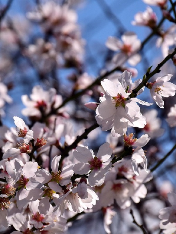 Agricultura desarrolla un proyecto sobre variedades de almendro de floración tardía en la Comarca del Altiplano