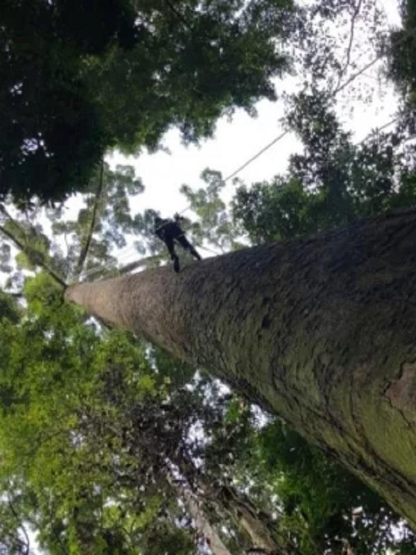 Conoce el árbol tropical que sobrepasa los 100 metros de altura