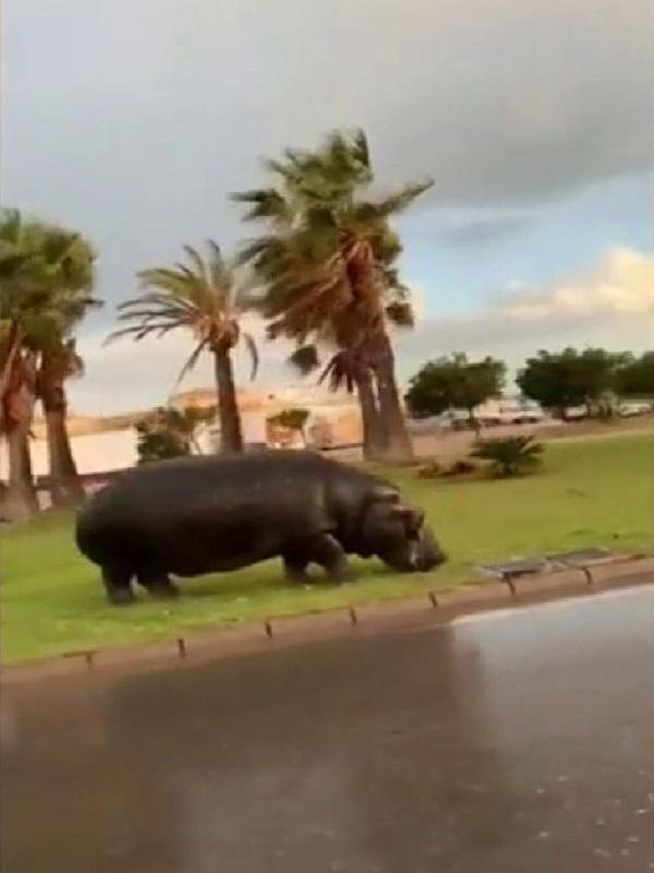 El Ayuntamiento de Roquetas de Mar (Almería) ordena precintar el circo del que se escapó un hipopótamo