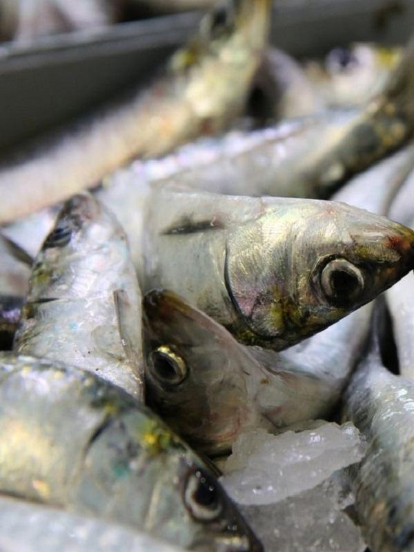 ¿Qué pasa con la recuperación de la sardina ibérica?