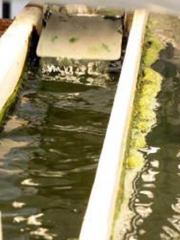 Bacterias púrpuras para convertir purines en biogás