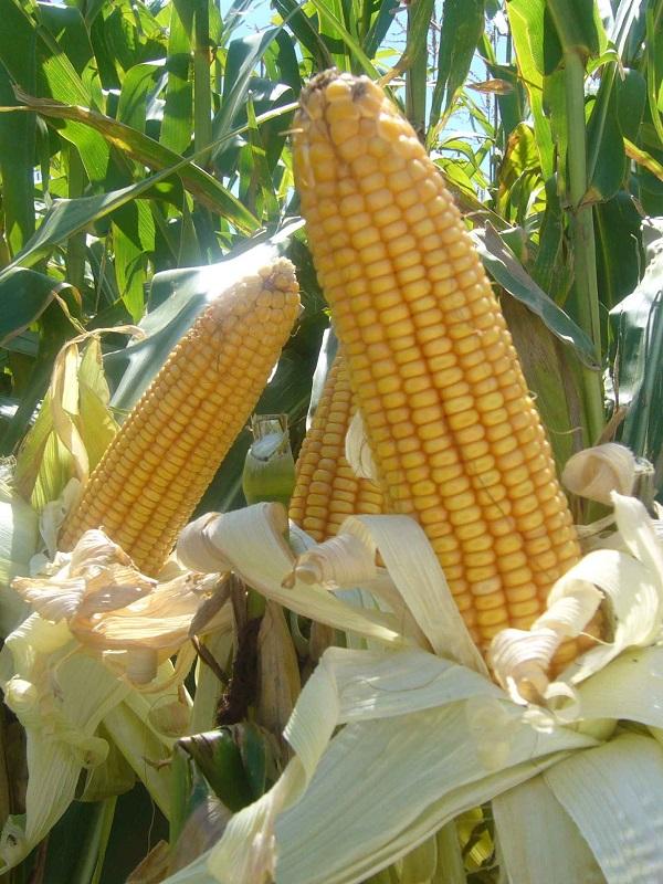 El presidente Andrés Manuel López Obrador asegura que no se permitirá la siembra de maíz transgénico en México