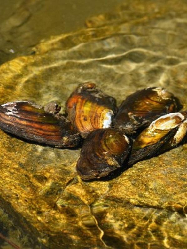 Las almejas de río a merced de un pez invasor