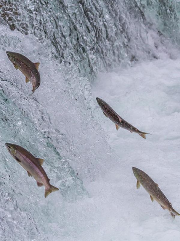 Pedimos que no se maten mas salmones y truchas en los ríos asturianos