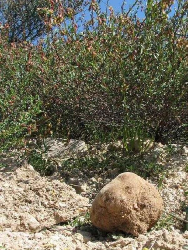 ¿Qué es la trufa del desierto?
