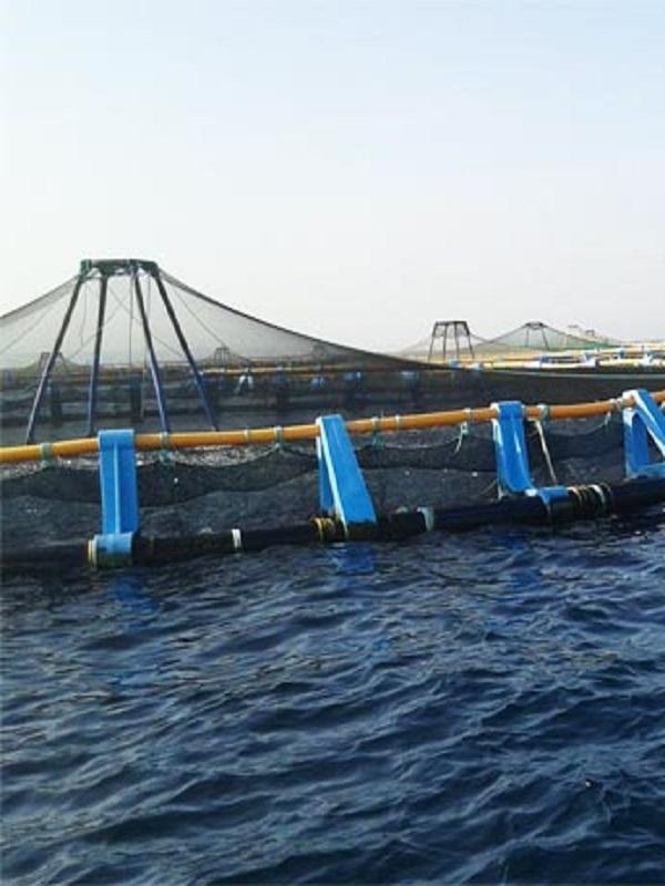 El uso de pescado salvaje para alimentar a peces de acuicultura aumenta el riesgo de colapso de la fauna marina