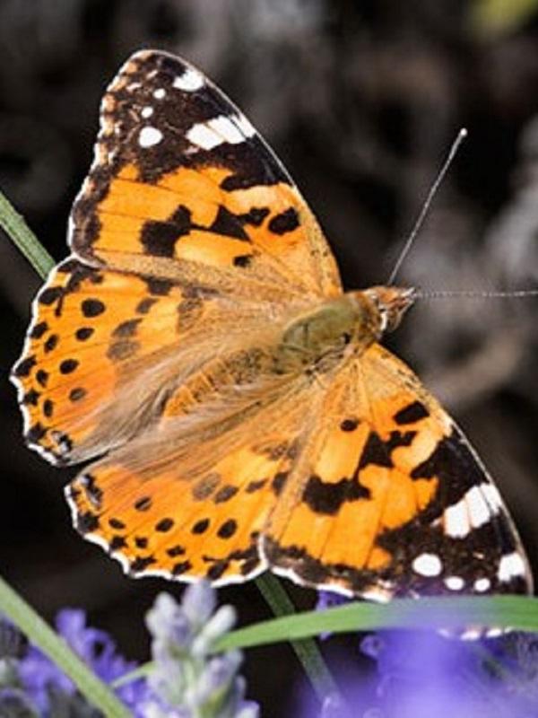 Las mariposas serán claves para mejorar la biodiversidad de la red de parques y playas metropolitanas