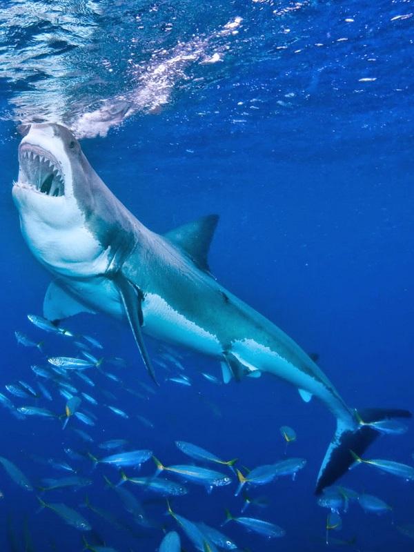 El gran tiburón blanco del Mediterráneo 'contra las cuerdas'
