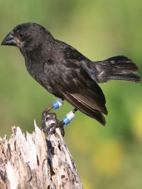 Los pinzones de Darwin 'víctimas' de la comida basura
