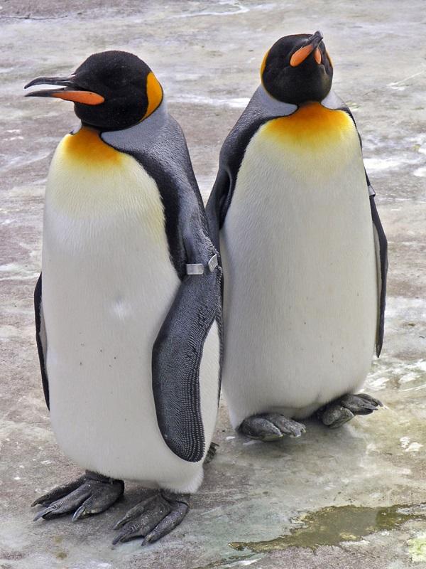 La formación de islas, clave para impulsar la especiación de pingüinos