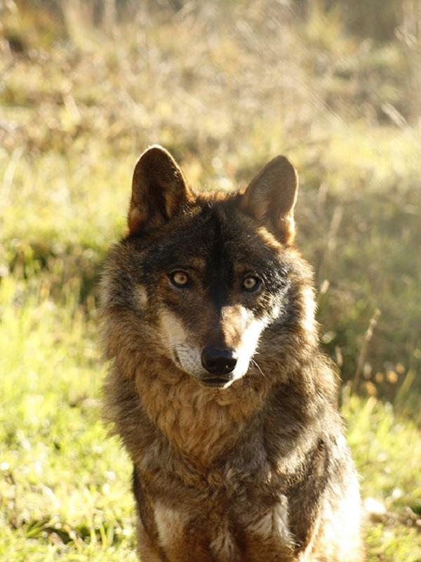 La presencia del lobo podría reducir la alta tasa de tuberculosis de los ungulados silvestres y el ganado doméstico en Sierra Morena