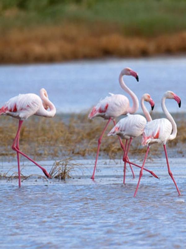 La sobreexplotación de aguas en Doñana pone en 'jaque' el futuro de aves acuáticas