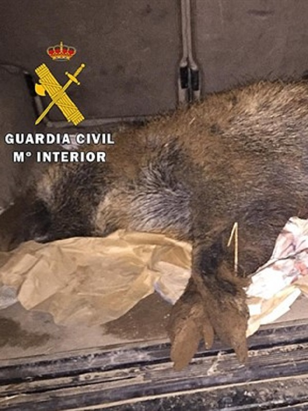 La Guardia Civil de Burgos sorprende a un furtivo que abatió un jabalí ilegalmente