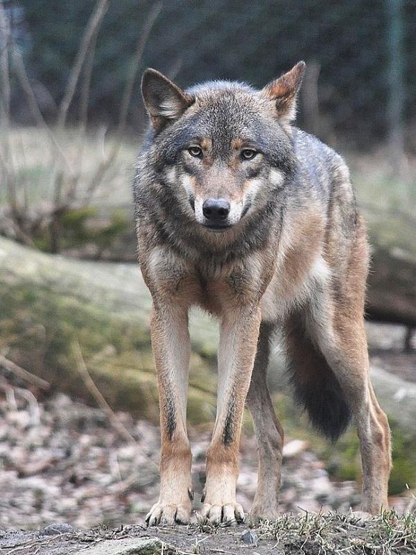 Cantabria puede y debe proteger al lobo