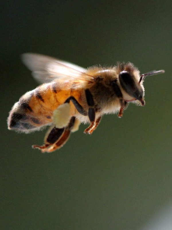 Las abejas son capaces de sumar y restar