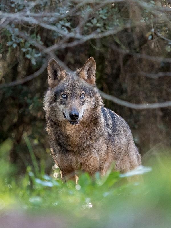 El Gobierno de La Rioja quiere liquidar a los lobos