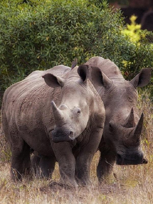 Los rinocerontes encarnan los peor de la caza furtiva y el enriquecimiento de las mafias