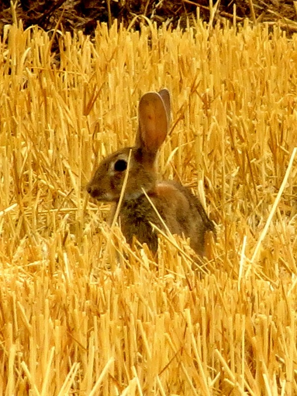 Los conejos resisten a la mixomatosis a través de selección natural