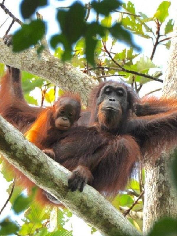 Los orangutanes consideran opciones antes de tomar una decisión