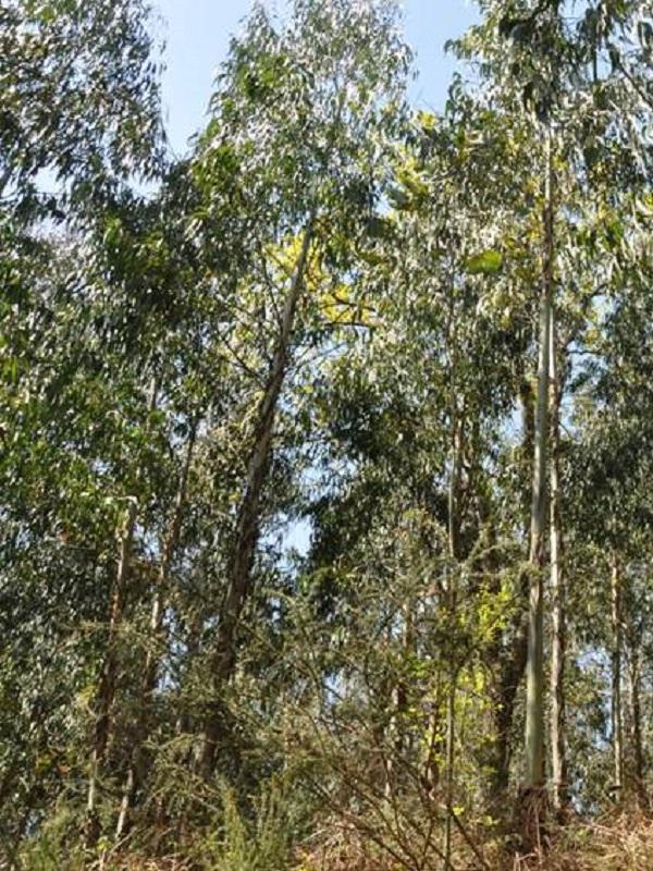 Las plantaciones de eucaliptos alteran el desarrollo de las larvas de anfibios