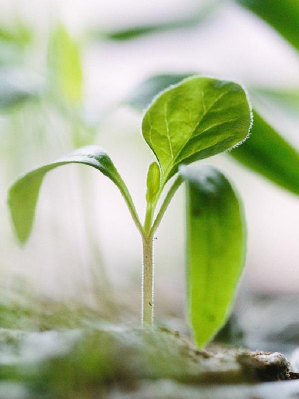 La productividad de cultivos aumenta un 40% con un 'atajo genético'