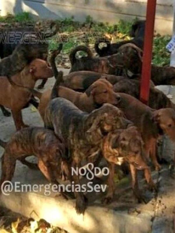 Buscan al autor del abandono de 18 perros peligrosos en un parque infantil en Sevilla