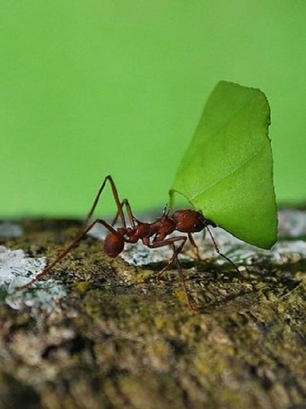 Colonias de una especie de hormiga emiten tanto NO2 como depuradoras