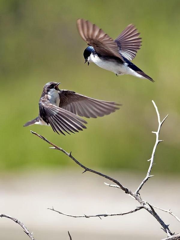 El cambio climático incrementa notablemente la pelea entre aves