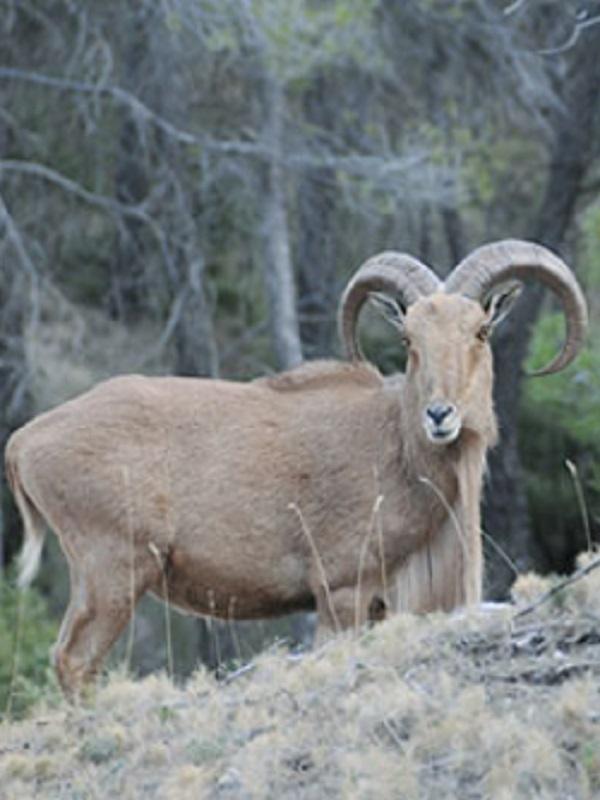 Activan un proyecto para la gestión de ungulados silvestres en el Parque Nacional de Sierra Nevada