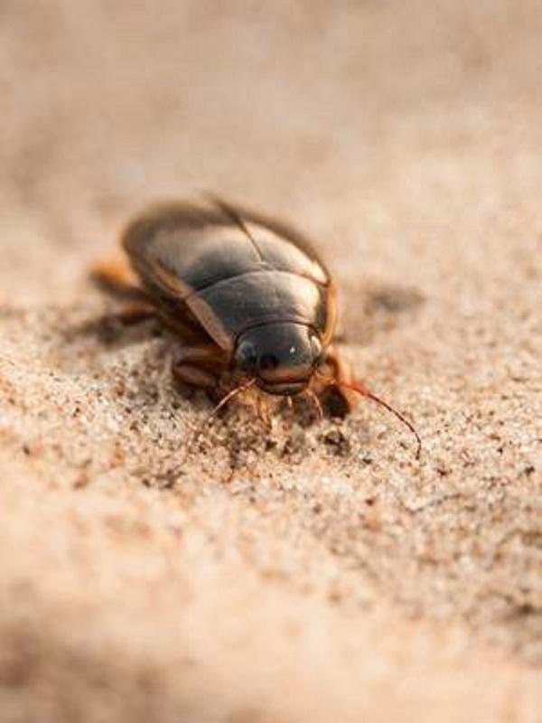 El primer escarabajo portugués que vive solo en aguas subterráneas