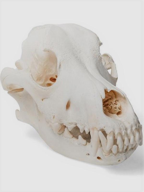 ¿Cómo cazaban los ancestros del perro?