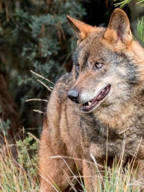 Life Lobo Andalucía presenta dos publicaciones sobre el lobo ibérico y las buenas prácticas de gestión en zonas loberas