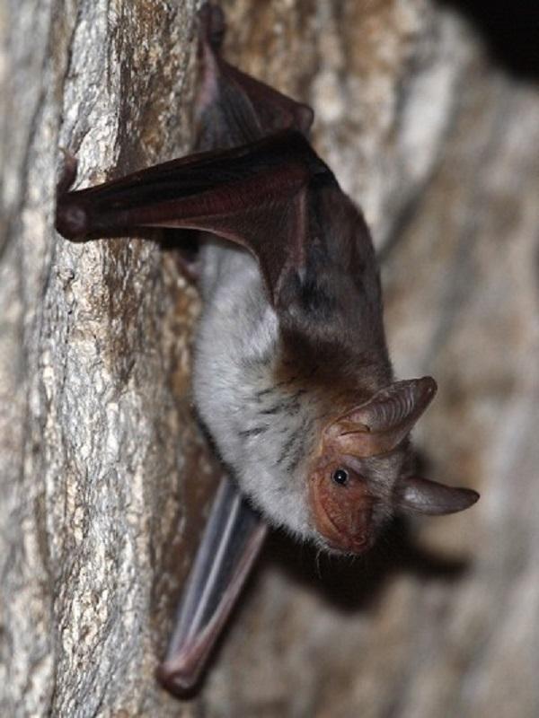Ecologistas en Acción de Mijas exigen protección para los murciélagos