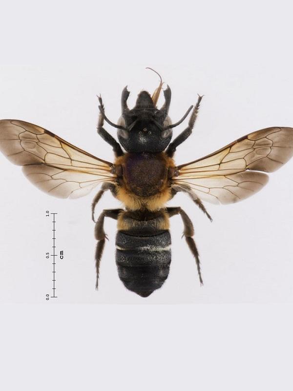 Conoce el 'acaro' que se come la grasa de las abejas