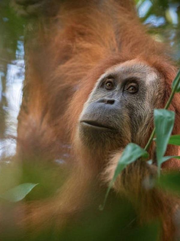 El biodiésel de palma puede fulminar al orangután de Borneo