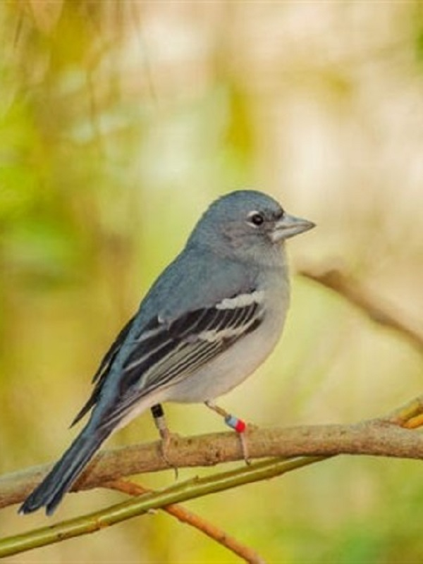 Gran Canaria acoge en marzo de 2019 la Conferencia Internacional Life+Pinzón sobre conservación de aves insulares amenazadas
